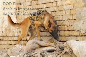 Free Public Domain Picture: U.S. Army Military Working Dog Searching Outside a Building In Iraq Photo
