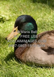 Photo of a sleeping mallard duck