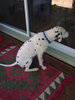 Lonely Dalmatian Wants to Come In clipart