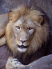 King of the Jungle - The Lion clipart