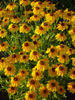 Brown Eyed Susans clipart