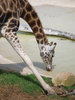 Giraffe Getting a Drink clipart