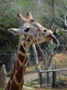 Giraffe Sticking Out Tongue clipart