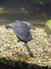 Swimming Turtle clipart