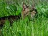 Cat  in The Grass clipart