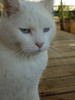 White Cat Looking Perturbed clipart