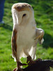 Barn Owl With an Injured Wing clipart