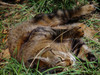 Cat Rolling in Grass clipart
