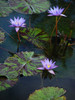Purple Waterlilies clipart