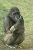 Young Gorilla Sitting on its Haunches clipart
