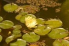 Yellow Water Lily in a Pond clipart