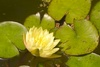 lotus flower image