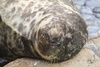 Harbor Seal Sleeping clipart
