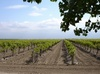 Vineyard Under Blue Skies; Northern California clipart