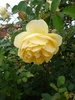 yellow rose image