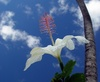 White Hibiscus Flower Against a Blue Sky clipart