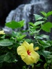 Yellow Hibiscus Near a Waterfall clipart