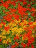 Orange and Red Nasturtium Flowers clipart