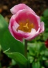 pink tulips image