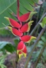 Hanging Lobster Claw Heliconia clipart