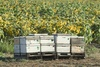 Bee Hives Next to Crop of Flowers clipart