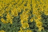 Rows of Sunflowers clipart