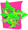 Parsley Plant clipart