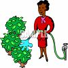 African American Woman Watering Money Trees clipart