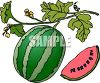 Watermelon Vine clipart