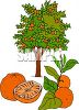 Fresh Oranges and an Orange Tree clipart