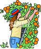 Woman Picking Oranges clipart