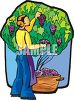 Woman Picking Grapes  clipart
