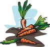Freshly Picked Carrots Laying in Soil clipart