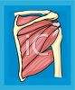 Shoulder Muscles and Bones clipart