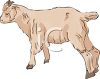A Baby Goat clipart