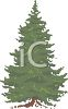 Large Spruce Tree clipart
