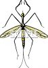 Mosquito Hawk or Crane Fly clipart