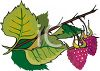 Raspberries Growing on a Vine clipart