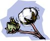 Cotton Boll Ready to Be Picked clipart