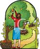 Woman Picking Oranges in an Orchard clipart