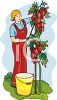 Person Picking Ripe Tomatoes from the Vine clipart