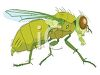 House fly clipart