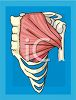 Human Body Muscles in the Chest clipart