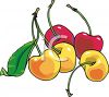 Red and Yellow Cherries clipart
