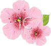 Beautiful Pink Cherry Blossoms clipart