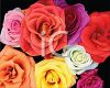 Realistic Multi-Colored Roses clipart