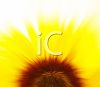 Yellow Sunflower Background in Closeup clipart