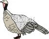 Realistic Illustration of a Live Turkey clipart