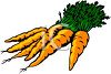 picture of fresh carrots from the garden in a vector clip art illustration clipart
