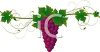 picture of a cluster of purple grapes on the vine in a vector clip art illustration clipart